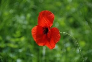 poppy-1231375_640